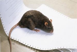 Kylan lockar fram råttorna
