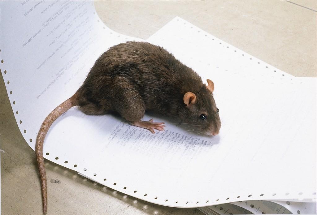 Så slipper du råttor i sommar