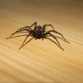 Med hösten kommer spindlarna