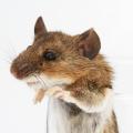 10 tips: Så håller du råttorna borta